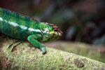 Male panther chameleon (Furcifer pardalis) [madagascar_0288]