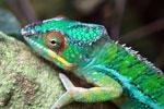 Male panther chameleon (Furcifer pardalis) [madagascar_0291]