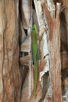 Broad-tailed Day Gecko, Phelsuma laticauda