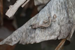 Spearpoint Leaf-tail Gecko (Uroplatus ebenaui) [madagascar_0350]