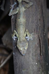 Giant Leaf-tail Gecko (Uroplatus fimbriatus)