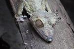 Giant Leaf-tail Gecko (Uroplatus fimbriatus) [madagascar_0363]