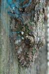 Southern Leaftail Gecko (Uroplatus sikorae)