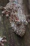 Southern Leaftail Gecko (Uroplatus sikorae) [madagascar_0373]