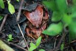 Mating tomato frogs (Dyscophus antongilii) [madagascar_0399]