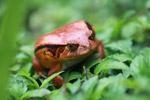 Tomato frog (Dyscophus antongilii) [madagascar_0404]