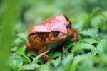 Tomato frog (Dyscophus antongilii) [madagascar_0408]