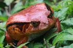 Tomato frog (Dyscophus antongilii) [madagascar_0409]