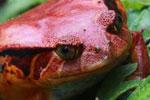 Tomato frog (Dyscophus antongilii) [madagascar_0410]