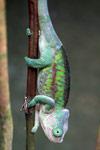Flat-casqued Chameleon (Calumma globifer) (female) [madagascar_0417]