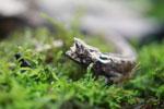 Thiel's Pygmy Chameleon (Brookesia thieli)