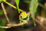 Green Bright-eyed Frog (Boophis viridis) [madagascar_0509]