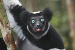 Indri lemur (Indri indri) [madagascar_0592a]