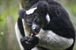 Indri lemur (Indri indri) [madagascar_0596]
