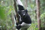 Indri lemur (Indri indri) [madagascar_0612]