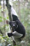 Indri lemur (Indri indri) [madagascar_0615]