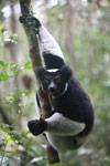 Indri lemur (Indri indri) [madagascar_0618a]