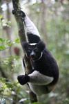 Indri lemur (Indri indri) [madagascar_0619]