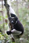 Indri lemur (Indri indri) [madagascar_0621]