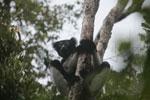 Indri lemur (Indri indri) [madagascar_0628]