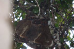 Eastern Woolly Lemurs (Avahi laniger) [madagascar_0649]