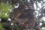 Eastern Woolly Lemurs (Avahi laniger) [madagascar_0654]