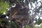 Eastern Woolly Lemurs (Avahi laniger) [madagascar_0655]