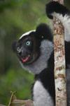 Indri feeding on leaves [madagascar_0658a]