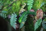 Unusual fern