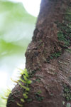 Mossy Leaf-tail Gecko (Uroplatus sikorae) [madagascar_0699]