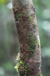 Southern Leaf-tail Gecko (Uroplatus sikorae) [madagascar_0700]