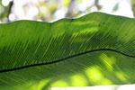 Underside of a birdnest fern [madagascar_0720]