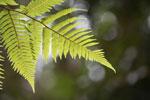 Fern illuminated by sunlight [madagascar_0749]