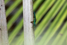 Lined Day Gecko (Phelsuma lineata) in a Pandanus palm [madagascar_0763]