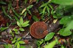 Brown fungi [madagascar_0787]