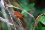 Orange Parson's chameleon (juvenile) [madagascar_0805]