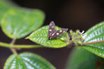 Dark gray moth with metallic-green spots [madagascar_0808]