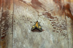 Orange and gray moth