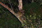 Eastern Woolly Lemurs (Avahi laniger) [madagascar_0832]