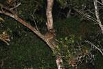 Eastern Woolly Lemurs (Avahi laniger) [madagascar_0833]