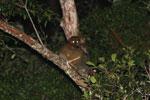 Eastern Woolly Lemurs (Avahi laniger) [madagascar_0835]