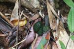 Greater bamboo lemur dung