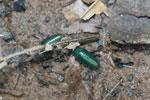 Juvenile Malagasy Emerald Green Pill Millipede (Sphaerotheriida) [madagascar_0909]