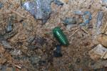 Juvenile Malagasy Emerald Green Pill Millipede (Sphaerotheriida) [madagascar_0911]