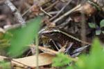 Plated lizard (Zonosaurus madagascariensis) [madagascar_1001]