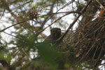 Eastern bamboo lemur [madagascar_1124]