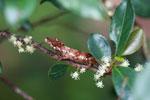 Big-nosed Chameleon (Calumma nasutum) [madagascar_1164]