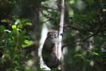 Eastern Lesser Bamboo Lemur (Hapalemur griseus) [madagascar_1170]