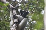 Indri in Perinet [madagascar_1182]