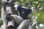 Indri in Perinet [madagascar_1183]